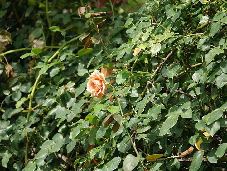 つるジュリア(Julia Climbing)の夏花がまた咲いた。ツルバラ。2020年-013.jpg
