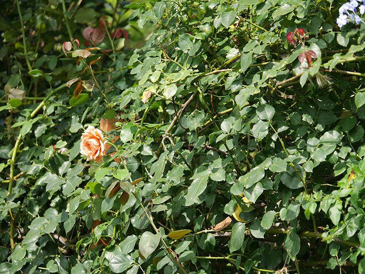 つるジュリア(Julia Climbing)の夏花がまた咲いた。ツルバラ。2020年-014.jpg