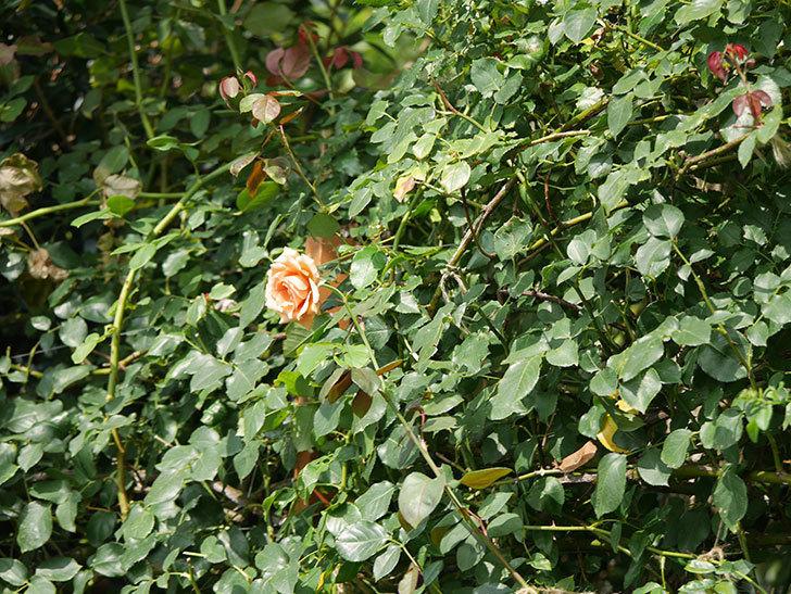 つるジュリア(Julia Climbing)の夏花がまた咲いた。ツルバラ。2020年-015.jpg