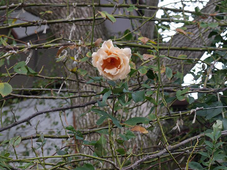 つるジュリア(Julia Climbing)の秋花がまた咲いた。ツルバラ。2020年-001.jpg