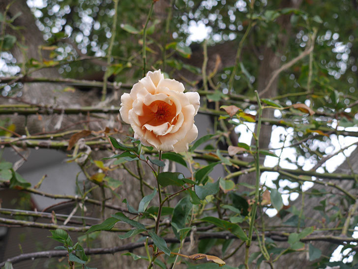 つるジュリア(Julia Climbing)の秋花がまた咲いた。ツルバラ。2020年-002.jpg