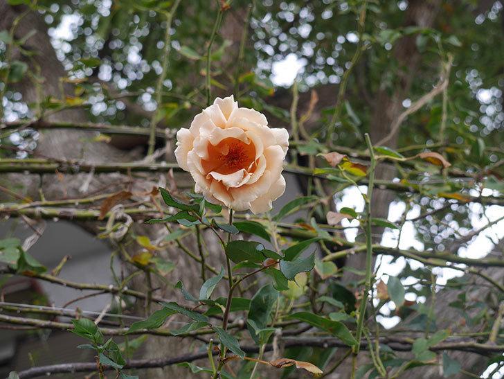 つるジュリア(Julia Climbing)の秋花がまた咲いた。ツルバラ。2020年-003.jpg