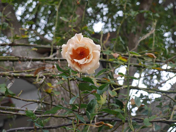 つるジュリア(Julia Climbing)の秋花がまた咲いた。ツルバラ。2020年-004.jpg