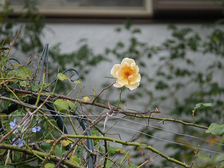 つるジュリア(Julia Climbing)の秋花が咲いた。ツルバラ。2020年-001.jpg