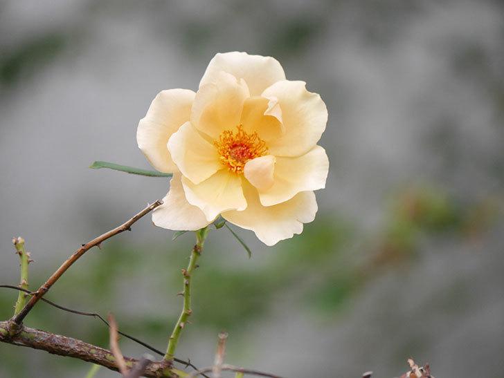 つるジュリア(Julia Climbing)の秋花が咲いた。ツルバラ。2020年-002.jpg