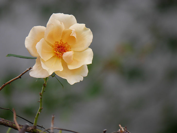 つるジュリア(Julia Climbing)の秋花が咲いた。ツルバラ。2020年-003.jpg