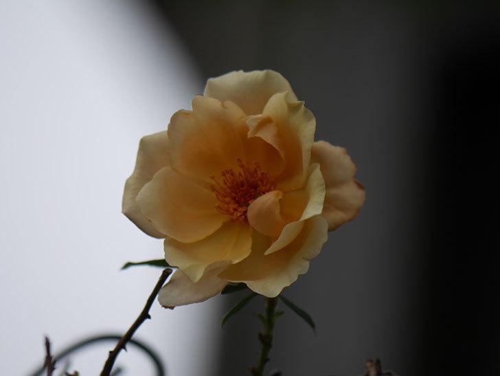 つるジュリア(Julia Climbing)の秋花が咲いた。ツルバラ。2020年-004.jpg