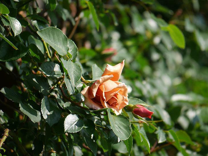 つるジュリア(Julia Climbing)の花が咲いた。ツルバラ。2021年-001.jpg