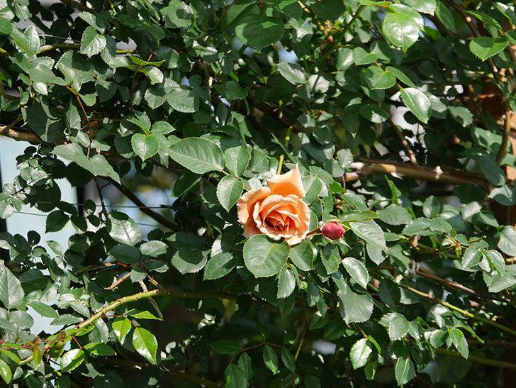 つるジュリア(Julia Climbing)の花が咲いた。ツルバラ。2021年-002.jpg