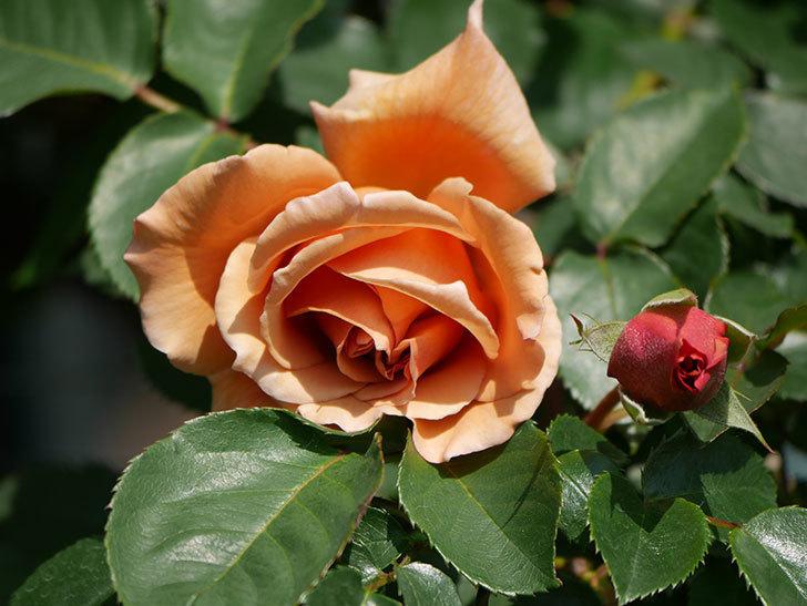 つるジュリア(Julia Climbing)の花が咲いた。ツルバラ。2021年-006.jpg