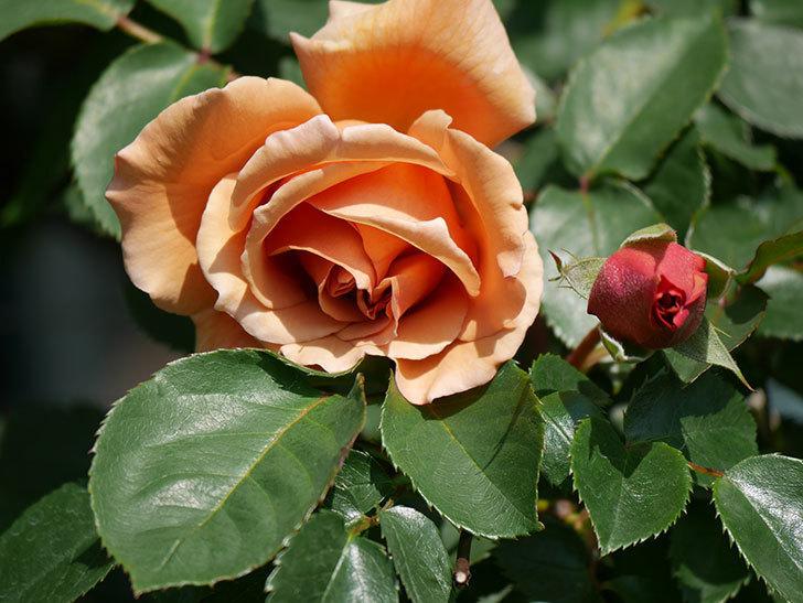 つるジュリア(Julia Climbing)の花が咲いた。ツルバラ。2021年-007.jpg