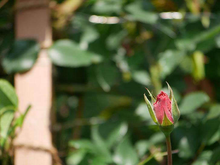 つるジュリア(Julia Climbing)の花が咲いた。ツルバラ。2021年-008.jpg