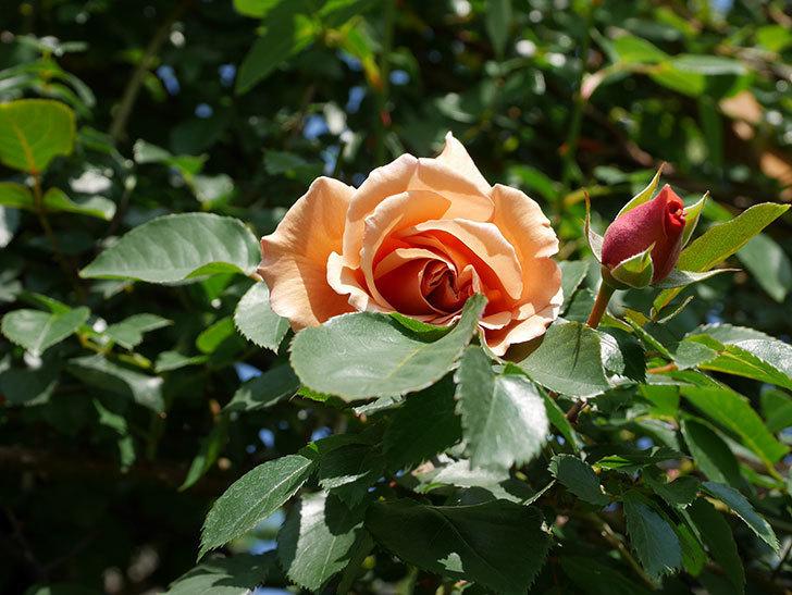 つるジュリア(Julia Climbing)の花が咲いた。ツルバラ。2021年-012.jpg