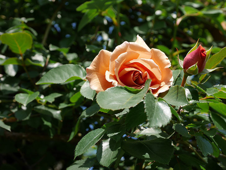 つるジュリア(Julia Climbing)の花が咲いた。ツルバラ。2021年-013.jpg