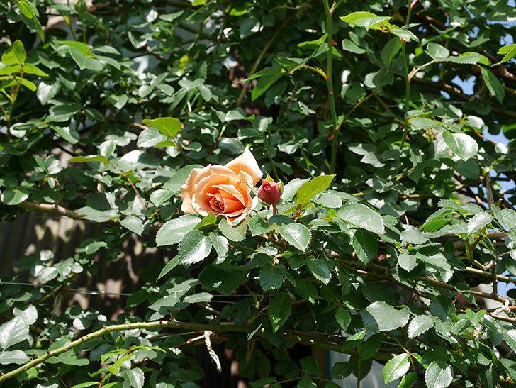 つるジュリア(Julia Climbing)の花が咲いた。ツルバラ。2021年-014.jpg