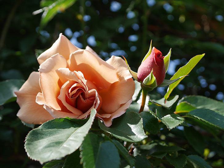 つるジュリア(Julia Climbing)の花が咲いた。ツルバラ。2021年-016.jpg
