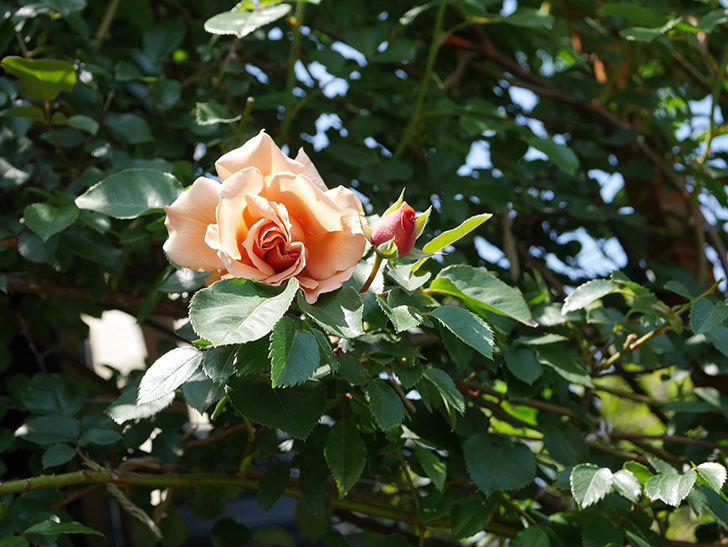 つるジュリア(Julia Climbing)の花が咲いた。ツルバラ。2021年-019.jpg