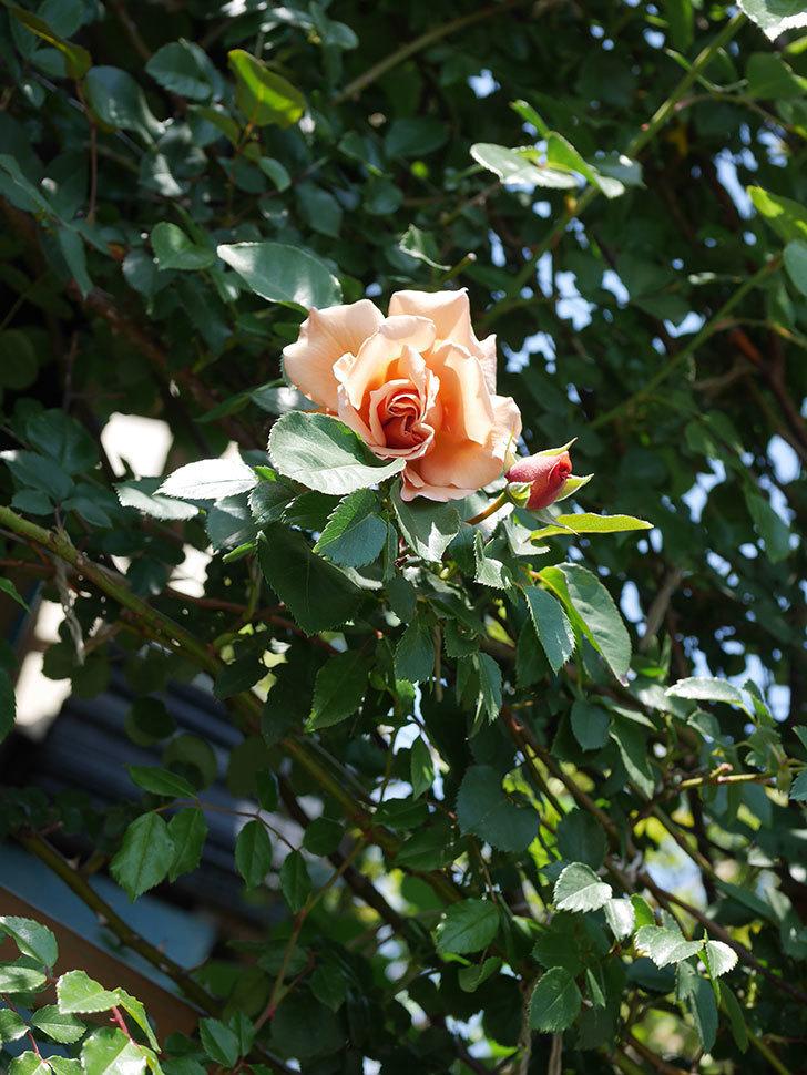つるジュリア(Julia Climbing)の花が咲いた。ツルバラ。2021年-020.jpg