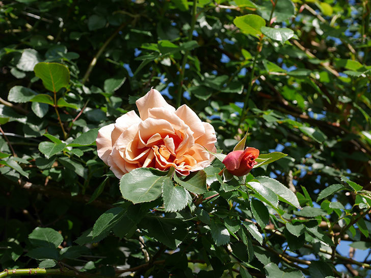 つるジュリア(Julia Climbing)の花が増えてきた。ツルバラ。2021年-001.jpg
