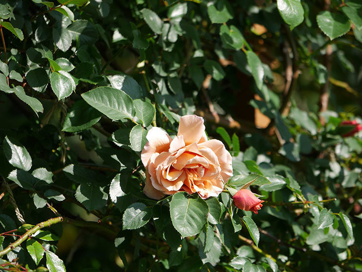 つるジュリア(Julia Climbing)の花が増えてきた。ツルバラ。2021年-003.jpg