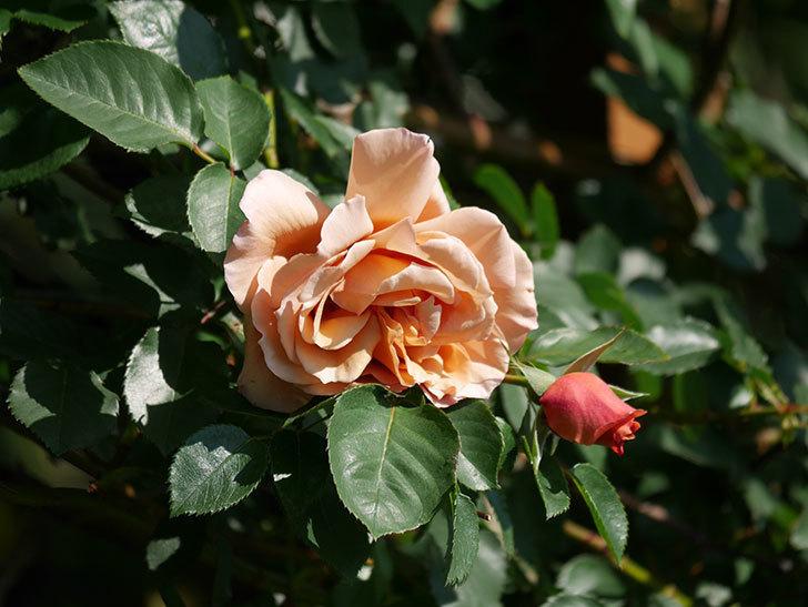 つるジュリア(Julia Climbing)の花が増えてきた。ツルバラ。2021年-004.jpg