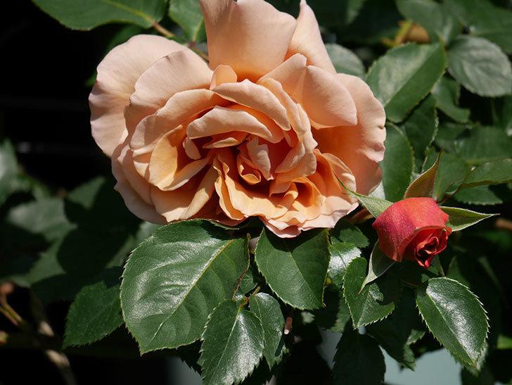 つるジュリア(Julia Climbing)の花が増えてきた。ツルバラ。2021年-005.jpg