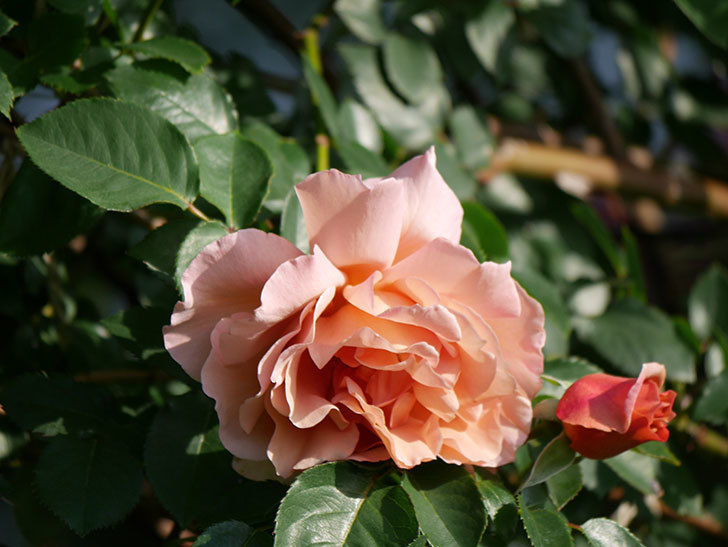 つるジュリア(Julia Climbing)の花が増えてきた。ツルバラ。2021年-007.jpg