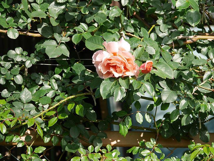つるジュリア(Julia Climbing)の花が増えてきた。ツルバラ。2021年-008.jpg