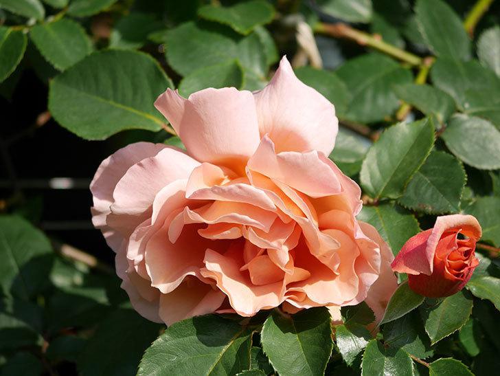つるジュリア(Julia Climbing)の花が増えてきた。ツルバラ。2021年-009.jpg