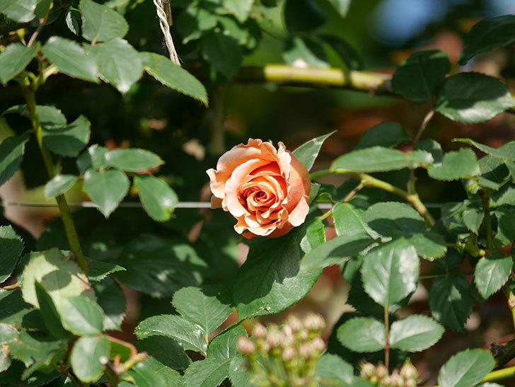 つるジュリア(Julia Climbing)の花が増えてきた。ツルバラ。2021年-010.jpg