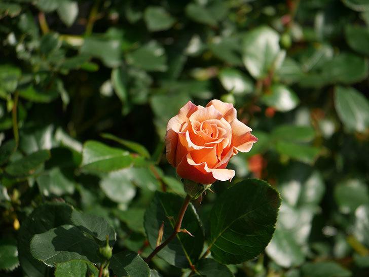 つるジュリア(Julia Climbing)の花が増えてきた。ツルバラ。2021年-012.jpg
