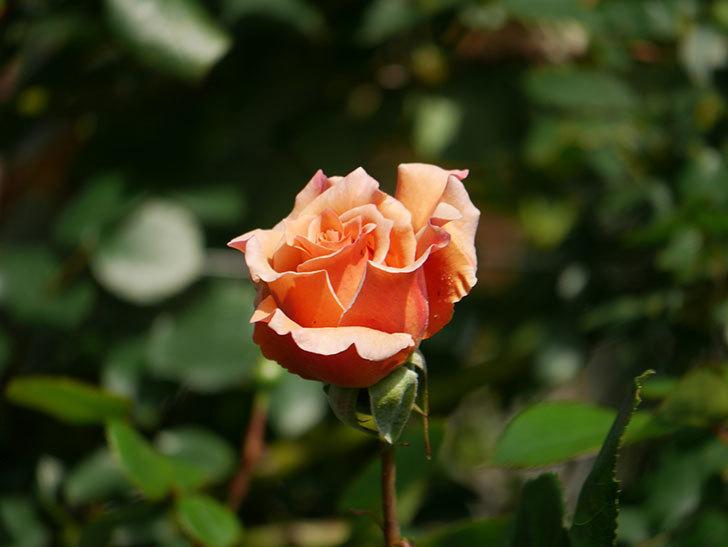 つるジュリア(Julia Climbing)の花が増えてきた。ツルバラ。2021年-014.jpg