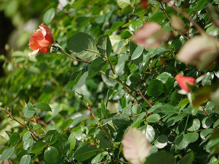 つるジュリア(Julia Climbing)の花が増えてきた。ツルバラ。2021年-015.jpg