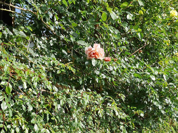 つるジュリア(Julia Climbing)の花が増えてきた。ツルバラ。2021年-016.jpg