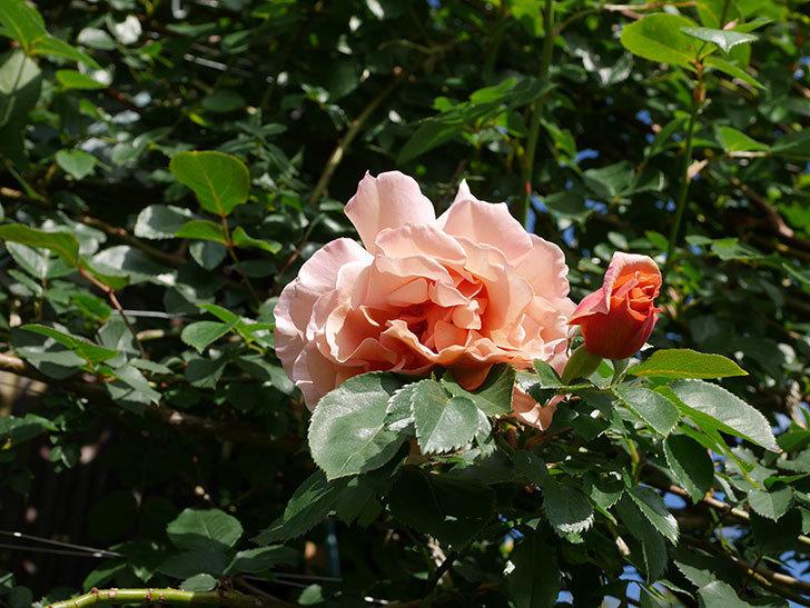 つるジュリア(Julia Climbing)の花が増えてきた。ツルバラ。2021年-017.jpg