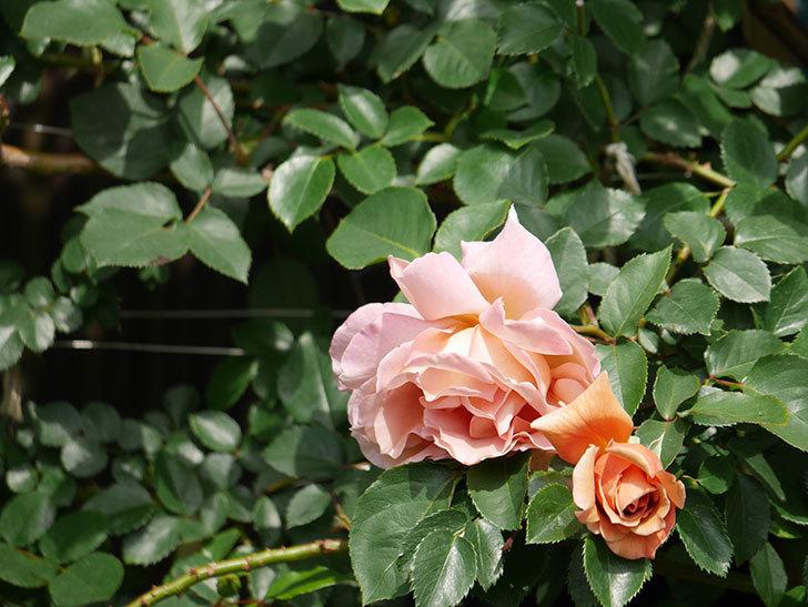 つるジュリア(Julia Climbing)の花が増えてきた。ツルバラ。2021年-019.jpg