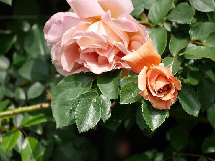 つるジュリア(Julia Climbing)の花が増えてきた。ツルバラ。2021年-020.jpg
