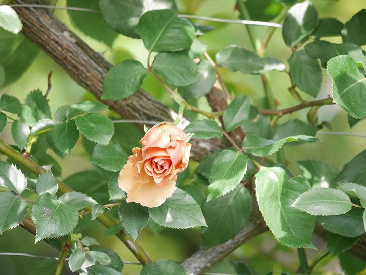 つるジュリア(Julia Climbing)の花が増えてきた。ツルバラ。2021年-022.jpg