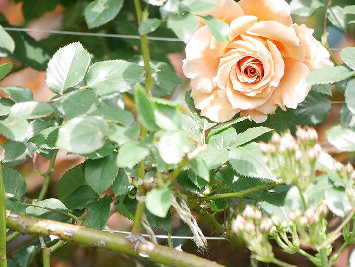 つるジュリア(Julia Climbing)の花が増えてきた。ツルバラ。2021年-023.jpg