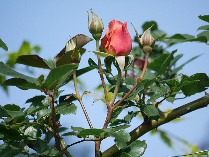 つるジュリア(Julia Climbing)の花が増えてきた。ツルバラ。2021年-024.jpg