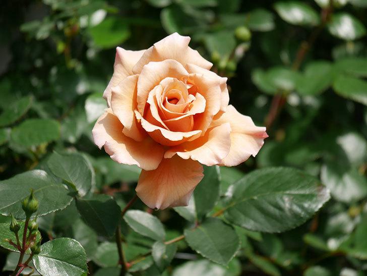 つるジュリア(Julia Climbing)の花が増えてきた。ツルバラ。2021年-026.jpg