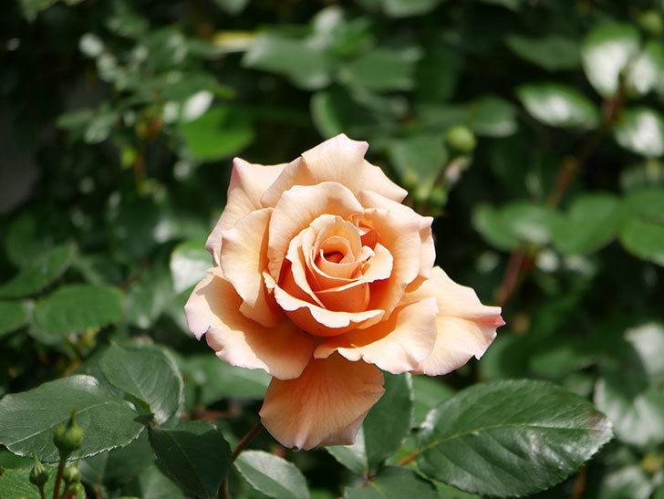 つるジュリア(Julia Climbing)の花が増えてきた。ツルバラ。2021年-027.jpg