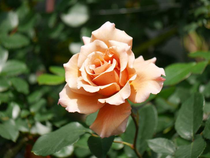つるジュリア(Julia Climbing)の花が増えてきた。ツルバラ。2021年-028.jpg