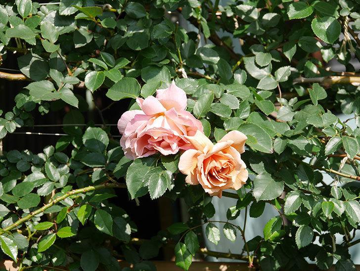 つるジュリア(Julia Climbing)の花が増えてきた。ツルバラ。2021年-032.jpg