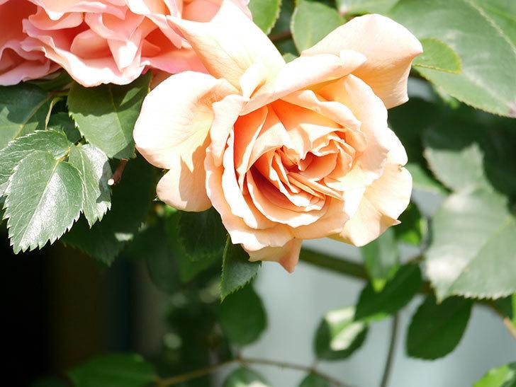 つるジュリア(Julia Climbing)の花が増えてきた。ツルバラ。2021年-033.jpg