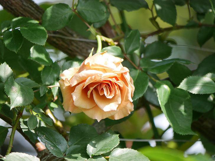 つるジュリア(Julia Climbing)の花が増えてきた。ツルバラ。2021年-035.jpg