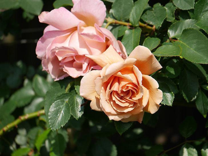 つるジュリア(Julia Climbing)の花が増えてきた。ツルバラ。2021年-036.jpg