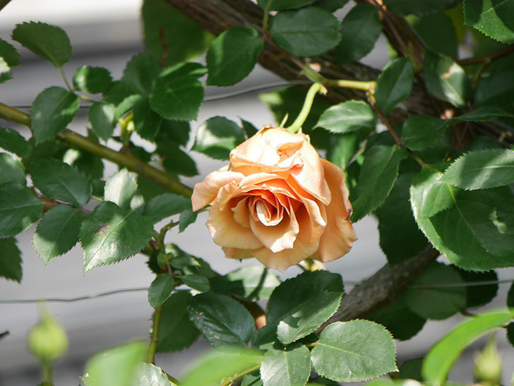 つるジュリア(Julia Climbing)の花が増えてきた。ツルバラ。2021年-037.jpg
