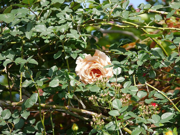 つるジュリア(Julia Climbing)の花が増えてきた。ツルバラ。2021年-038.jpg