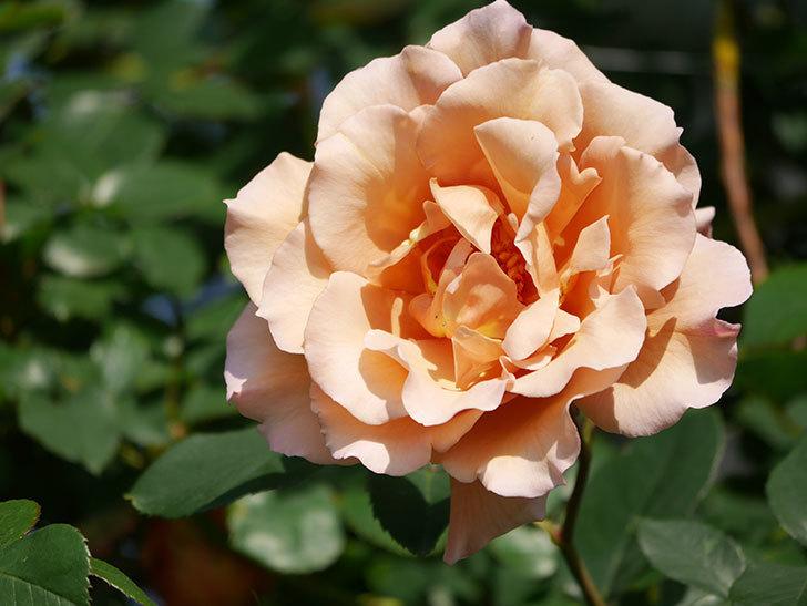 つるジュリア(Julia Climbing)の花が増えてきた。ツルバラ。2021年-039.jpg